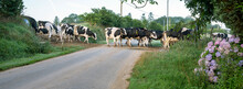 Spotted Cows Cross Country Road In Hills Of Central Brittany Near Nature Park D'armorique In France