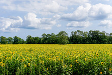 Bright Yellow Sunflower Field With Forest Behind Under A Blue Sky With Clouds