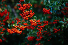Red And Orange Berries On A Tree