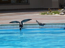 Sooty Gull Ichthyaetus Hemprichii And White-eyed Gull Ichthyaetus Leucophthalmus Is A Small Gull That Is Endemic To The Red Sea Birds By The Pool In Resort Hotel Pool In Egypt