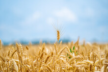 Landscapes Of Yellow Wheat Flour. Farming Gold Wheat Field Industry. Yellow Field With Blue Sky At The Background