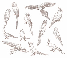 Hand Drawn Sketches Of Parrots