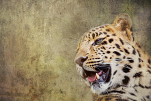 Young Adult Amur Leopard. A Species Of Leopard Indigenous To Southeastern Russia And Northeast China, And Listed As Critically Endangered. Textured Background With Copyspace.