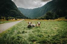 Flock Of Norwegian Sheep In Pasture Field Below The Mountains