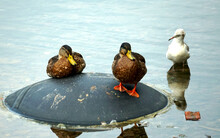 Ducks With A Seagull In A Pond