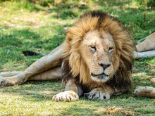Male Lion Resting In The Shadow