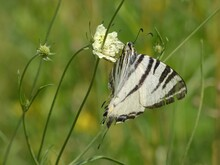 Scarce Swallowtail (Iphiclides Podalirius) - Close Up Of Butterfly On The Meadow, Kraków, Poland