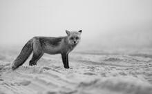 A Red Fox On The Beach