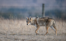 Coyote Walking On A Road