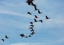 Migration Of Common Cranes (Grus) From Wintering. Birds Flying In Blue Sky On Spring Day..