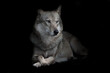 Strict female wolf sitting cross legged in night darkness, isolated black