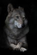 Portrait of condescending interrogative female she-wolf on black background, isolated,