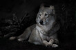 Calm confidence of a lying imposing she-wolf against the background of a night forest (bushes are barely visible in the darkness)