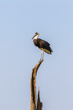 Woolly Necked Stork On A Treetop In Africa