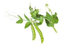 Green Pea Branch With Pods, Seeds, Leaves, Flowers Isolated On White  Background.