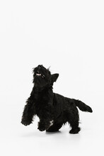 Cute, Beautiful Black Dog Scotch Terrier Isolated Over White Studio Background. Concept Of Motion, Action, Active Lifestyle, Animal Life, Care, Responsibility For Pets