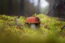 An Orange-cap Boletus Mushroom (Leccinum Aurantiacum) Against The Background Of Moss And Pine Forest.