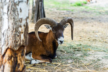 Goat With Horns In The Park