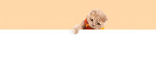 Creative Autumn Banner. Funny Flap-eared Kitten Wearing Knitted Scarf Pointing With Hia Paw To A Free Copy Space For Text. Banner For Sale, Pet Shop, Event Agency, Advertisement. Cute, Funny Kitten