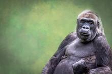 A Male Gorilla Making A Fist