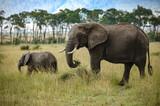 elephant roaming in Kenya Africa