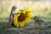 Groundhog In The Meadow Admires The Yellow Sunflower.