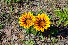 Two Yellow And Orange Gazania Flowers In Full Bloom
