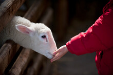 Baby Lamb Being Fed By Child At A Petting Farm