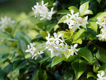 Arbuste Liane De Jasmin étoilé Ou Faux Jasmin à Fleurs Blanches Décoratives Et Odorantes Dans Un Feuillage Vert Foncé Sur Tiges Volubiles Et Grimpantes