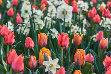 Flowerfield Of Orange-red Striped Tulips In The Garden In The City Park