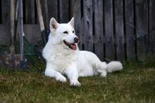 White Husky On Natural Background