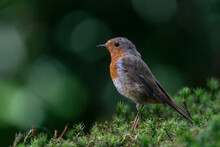 Robin (Erithacus Rubecula) In The Forest Of Brabant Brabant In The Netherlands. Green Bokeh Background.