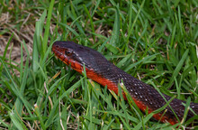 Curious Red Bellied Water Snake