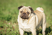 Close-up Portrait Of Beige Pug Dog On Walk On Green Grass In Park On Sunny Day.