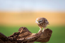 Little Owl. Colorful Nature Background. Athene Noctua.