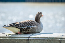 A Greylag Goose Sat On The Wall Of Albert Embankment Next To The River Thames