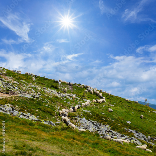sheep herd on mount slope at the sunny day, mountain farm scene