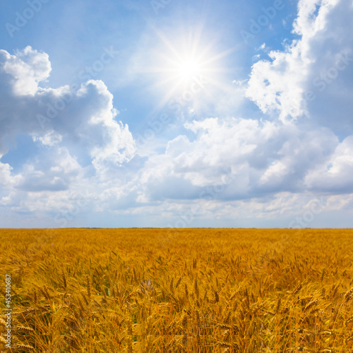 summer wheat field at the sunny day, countryside agricultural scene