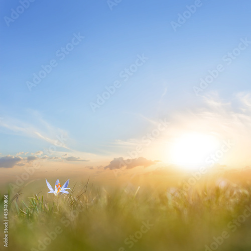 small white crocus flower in prairie grass at the sunset