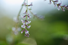 Verbena Plant In Flower Cover With Dew Drops