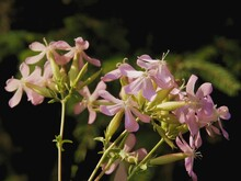 Pink  Flowers Of  Soapwort-Saponaria Officinalis Plant Close Up