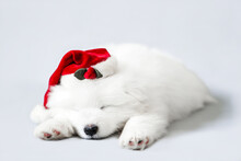 A Sleeping Cute Samoyed Puppy In A Santa Claus Hat. Christmas Little White Dog Photo