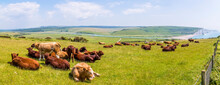 A Panorama View Of Cows Grazing At Seaford, UK With A Backdrop Of Cuckmere Haven And The Seven Sisters Chalk Cliffs In Early Summer