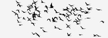 Silhouettes Of A Flock Of Black-winged Stilt Birds In Flight. Black And White Panoramic Photo. The Background Is Removed.
