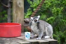 Ring Tailed Lemur On Platform