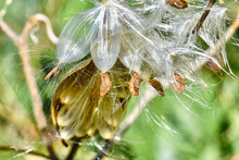 The Silky Hairs Of Milkweed Seeds (Asclepias Tuberosa) Have Become Fluffed Up By The Wind And Are Ready To Become Airborne.  Closeup.