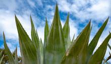Green Agave Against A Blue Sky