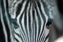 Beautiful Eyes Of A Young Zebra Close-up