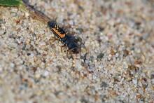 Larva Of Harlequin Asian Ladybeetle (Harmonia Axyridis, Coccinellidae) Sitting On A Green Leaf.