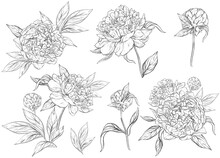 Floral Set With Peonies And Leaves, Flower Buds. Line Art, Vintage Graphics. Black And White